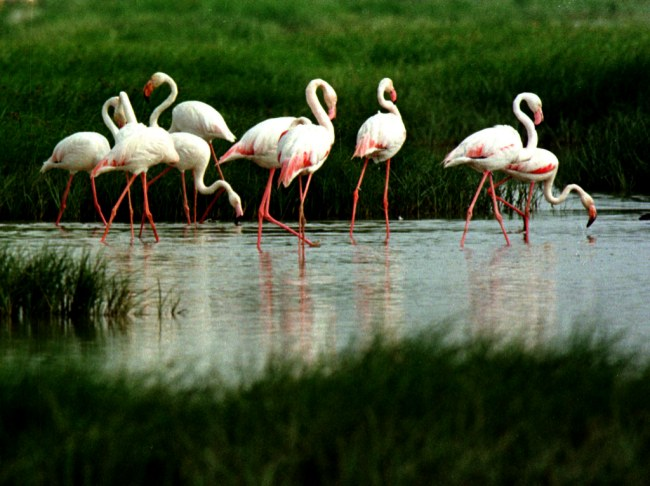 Flamingo Birds Jaipur