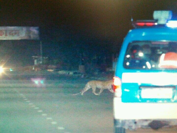 Leopard in jaipur