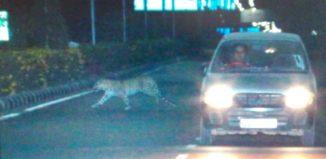 Leopard in JLN marg