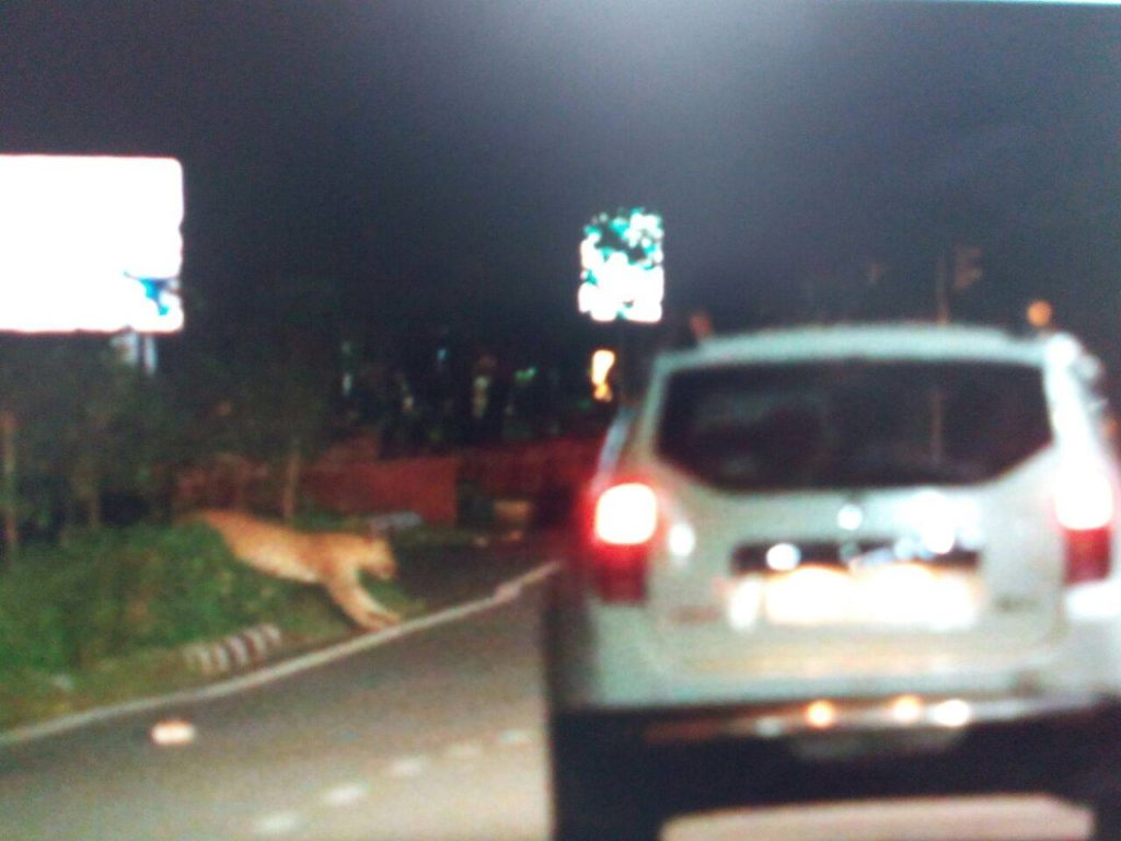 Leopard at jln marg