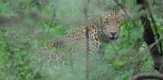 Leopard in Jhalana Forests